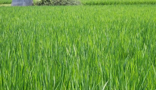 SOD酵素!?「大麦若葉の青汁」栄養・成分・効果効能はウソだ。