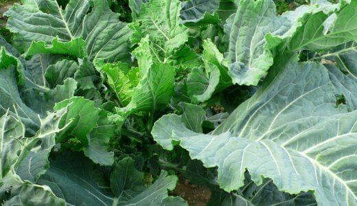 青汁野菜のケール!栄養(効果効能)や食べ方レシピのまとめ。