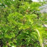 桑の葉で血糖値が!?お茶&青汁の効能で糖尿病予防はウソ。