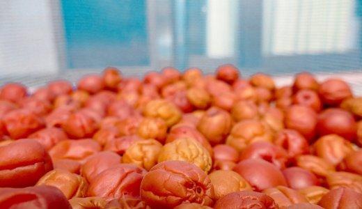 今年の「梅の土用干し」、すっかり忘れて「お盆干し」に。
